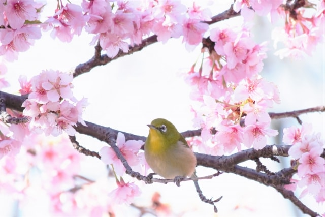 関東 桜 2018