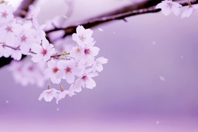 桜ライトアップ2018時間