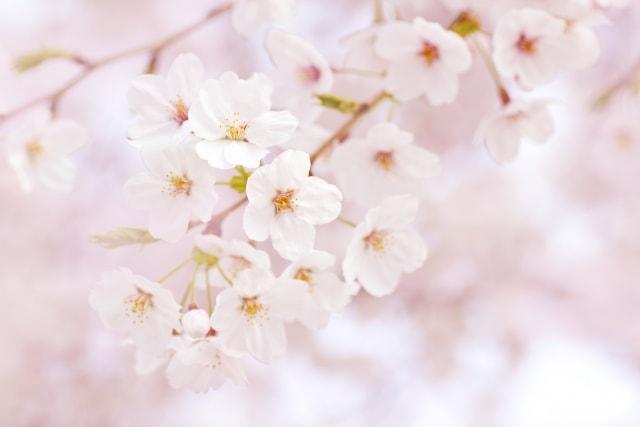 北海道 桜 ライトアップ 2018