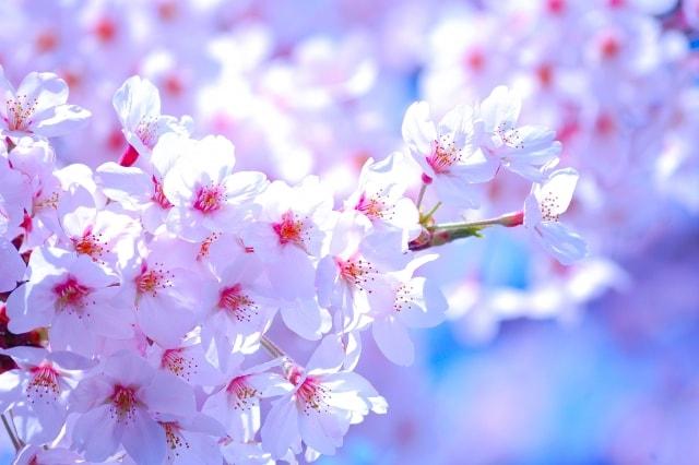 九州 桜 ライトアップ 2018
