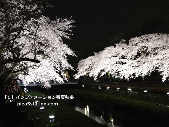 野川の桜ライトアップの様子