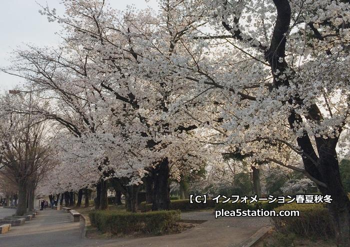 小瀬スポーツ公園の桜の様子